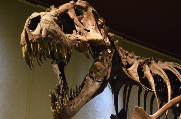 craneo tiranosaurius rex museo